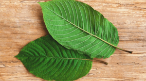 A Photo of Kratom Leaves