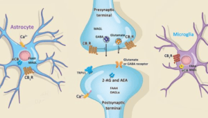 An image of cannabis, cannabinoids receptors and Endocannabinoid system