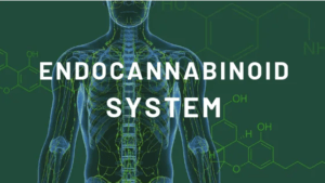 An image showing how the Endocannabinoid system works