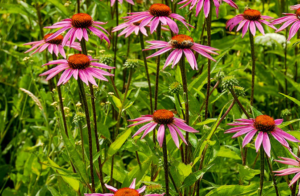 An image of echinacea