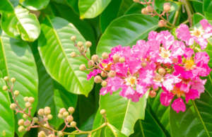 An image of Banaba Leaf & Guggul - Blood sugar support review